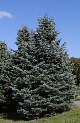 Abies Concolorwhite Fir